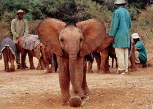 Orphaned elephants at the David Sheldrick Wildlife Trust